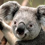 150x150 koala