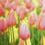 150x150 flowers