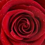150x150 rose