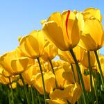150x150 tulips