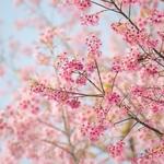 150x150 240381 blooming cherry