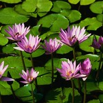 150x150 water lilies
